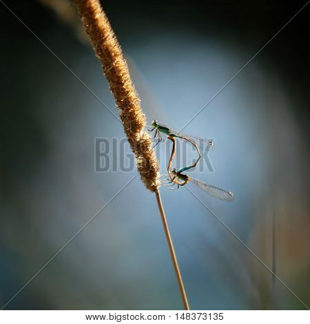 Pair of dragonflies sitting on a flower of grass on the bank of pond