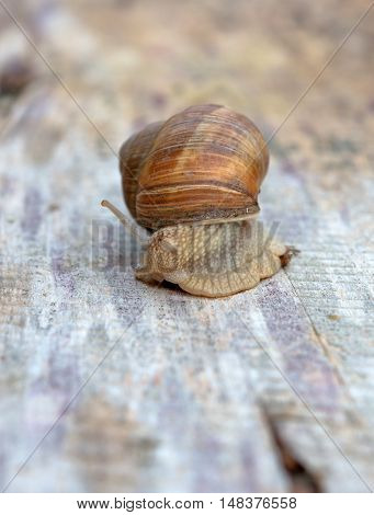 Helix pomatia common names the Burgundy snail Roman snail edible snail or escargot