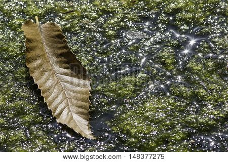 Transition of the seasons. A single brown leaf rests on pond algae clearly illuminated by bright Summer sun.