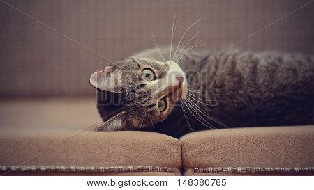 Portrait of the striped domestic cat lying on a sofa.
