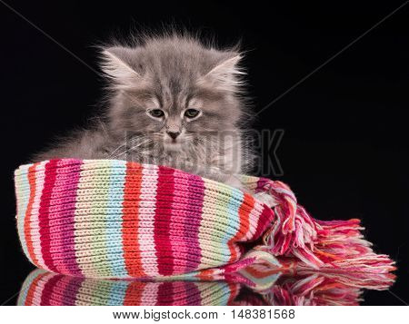 Sleepy fluffy kitten in a warm knitted scarf over black background