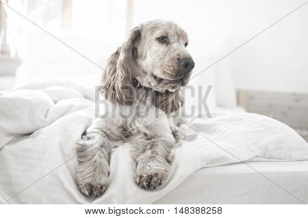 English cocker spaniel puppy in the bed