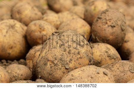 ripe potatoes on a bed close up