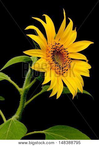 Sunflower on dark background. Sunflower close up