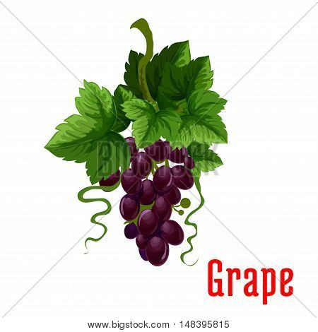 Grape fruit plant icon. Isolated bunch of black grapes on stem with leaves. Botanical style product emblem for juice or jam label, packaging sticker, grocery shop tag, farm store