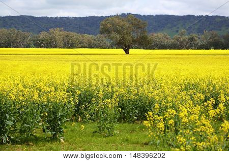 Tree In Midst Of Blooming Golden Canola