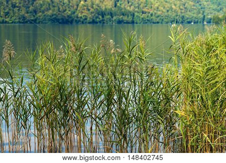 Detail of green reeds in a lake in summer. Levico Lake Trentino Alto Adige Italy