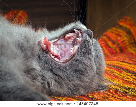 The cat yawns widely. It can be seen to fall tongue teeth