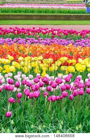 Colorful growing tulips flowerbed at spring day