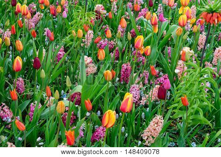 Colorful growing tulips and hyacinth flowerbed at spring day