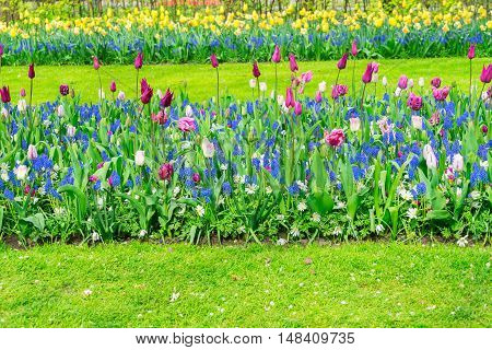 Colorful growing tulips and bluebells flowerbed at spring day