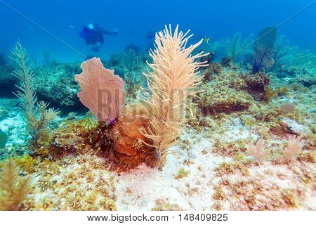 Underwater Background With Soft And Hard Corals, Cayo Largo