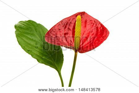 Anthurium flower exotic isolated on white background