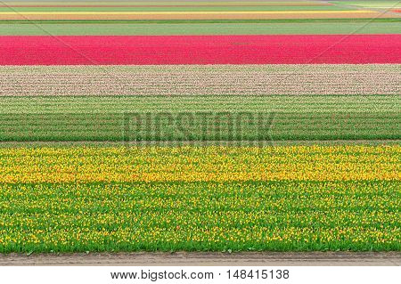 Colorful growing dutch tulips field flowerbed at spring day