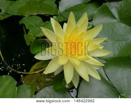 A beautiful yellow lotus flower in pond.