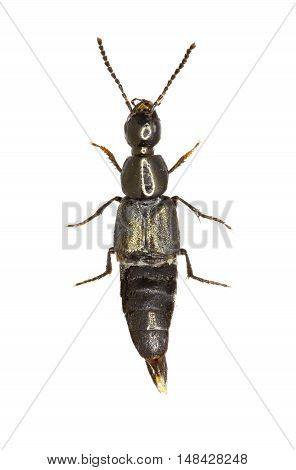 Rove Beetle Philonthus on white Background  -  Philonthus sp.