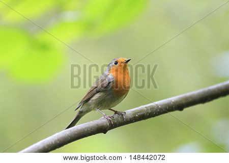 bird Robin red breast sitting on a tree in autumn Park
