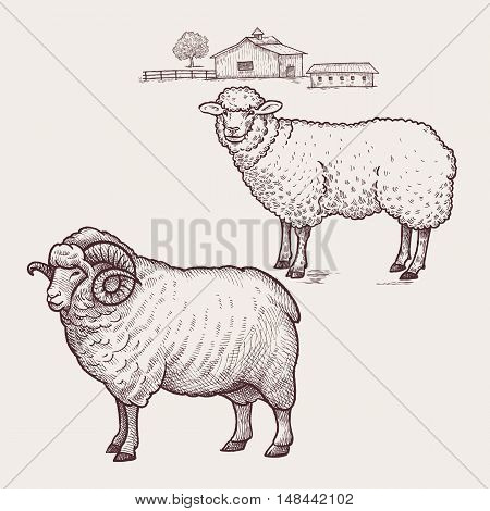 Sheep and ram. Vector illustration. Isolated on white background.