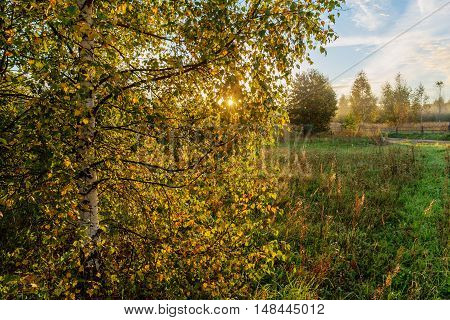birch tree in the foreground in the morning