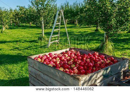 Fresh picked honey crisp apple harvest in wooden bins on the farm.