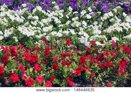 flowerbed with red and white and blue petunias