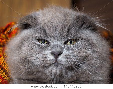 Portrait of arrogant gray cat with a huge muzzle