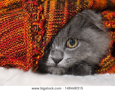 Cat with huge round eyes funny looks from the bright blankets
