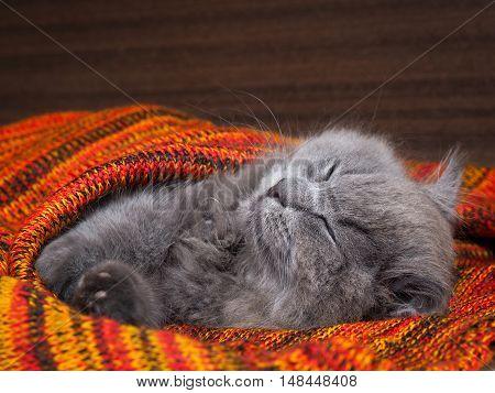 Cute gray cat sleeping wonderful in the bright red blanket