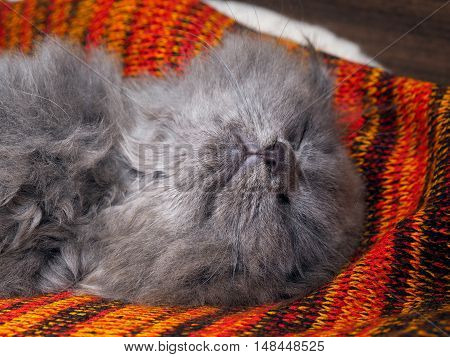 Cute gray cat sleeping wonderful in the bright red blanket