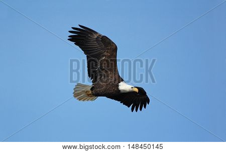 A majestic Bald Eagle flies past along the Mississippi River in western Wisconsin.