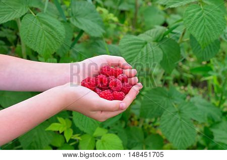 ripe raspberries in children's palms on the background of green leaves