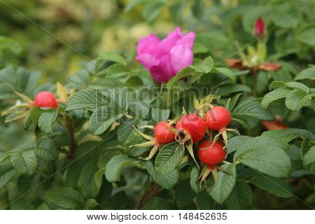 Rosehips berries, rose, ripe berries, nature closeup.