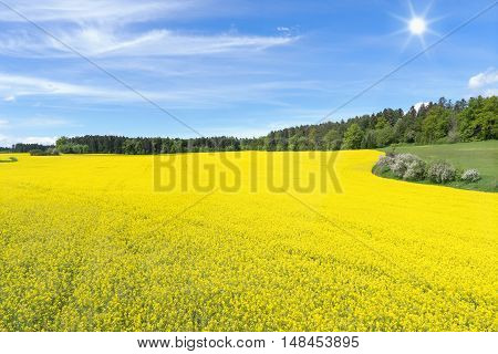 Large, blooming rapeseed field in front of a forest in spring with blue sky and sun