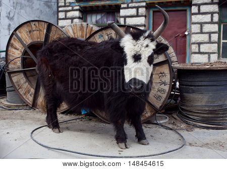 Young Dzo Yak in Tibet. Dzo is a hybrid of yak and domestic cattle