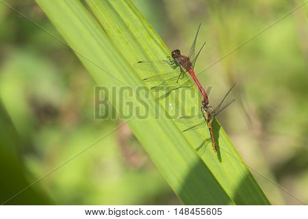 Ruddy Darter (Sympetrum sanguineum) mating wheel resting on a leaf