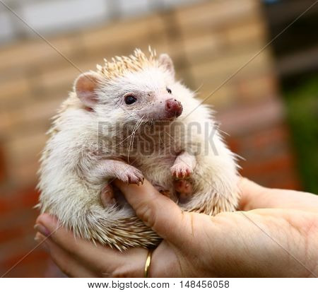 dwarf hedgehog in human hand close up photo