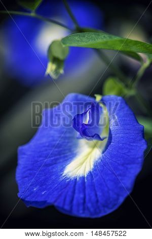 Detail of edible tropical flower clitoria ternatea, aka asian pigeonwings, bluebellvine, blue pea, butterfly pea, cordofan pea and Darwin pea