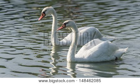 Mating pair of young white Mute swans (Cygnus olor) swim gracefully around in morning sunlight in a woodland pond.