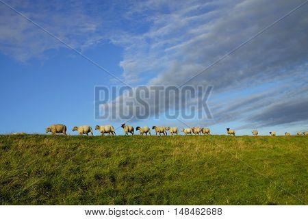 Flock of sheep run on a dike along