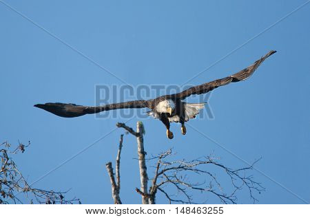 Bald Eagle in Flight, Vancouver Island, Canada