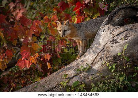 Grey Fox (Urocyon cinereoargenteus) Atop Log - captive animal
