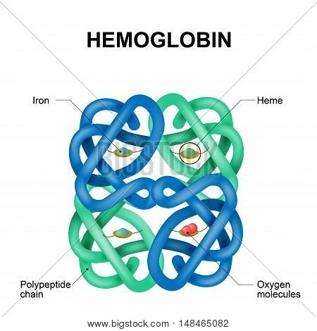 Structure of human hemoglobin molecule. Vector diagram. Hemoglobin is the substance in red blood cells that carries oxygen.