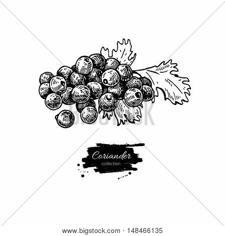 Coriander seed heap vector hand drawn illustration. Isolated spice object. Engraved style seasoning. Detailed organic product sketch. Cooking flavor ingredient. Great for label, sign, icon