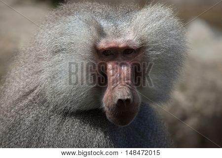 Hamadryas baboon (Papio hamadryas). Wildlife animal.