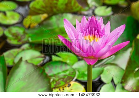 beautiful water lily lotus flower on Pond