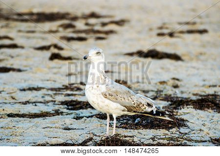 Seagull on the beach of Rostock - Warnemuende