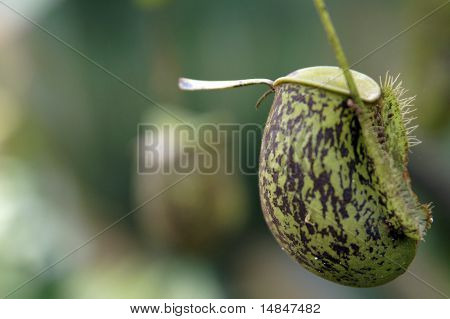 Nepenthes Flowers Of Borneo