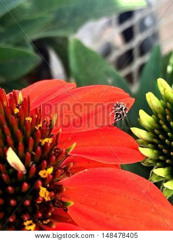 black and tan spider on a red flower