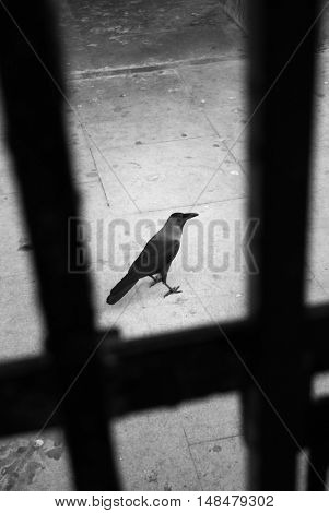 Black and white image of a crow (Corvus) behind a cast iron gate in Mumbai, India. The crow symbolize death, misfortune, and war.