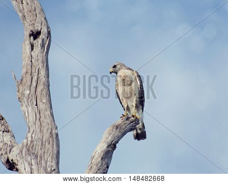 Red-Shouldered Hawk Perching On A Tree